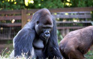 gorilla-88977_960_720