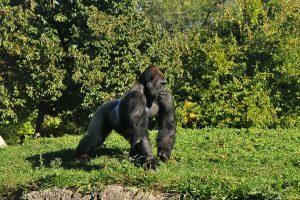 gorilla-315544_960_720