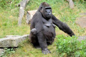 gorilla-316513_960_720