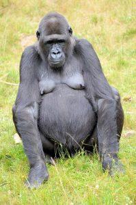 gorilla-316514_960_720