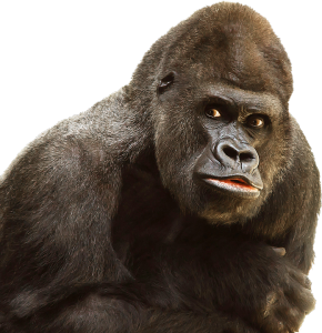 gorilla-1050384_960_720