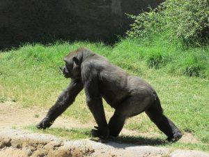 gorilla-990209_960_720