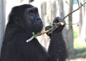 gorilla-1124217_960_720