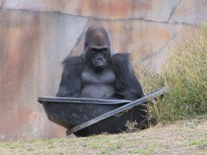 gorilla-1233428_960_720