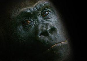 gorilla-1329720_960_720