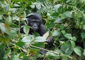 gorilla-1386501_960_720