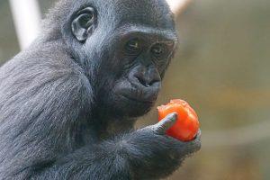 gorilla-1496768_960_720