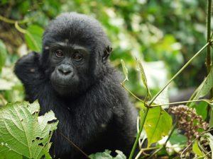 gorilla-1541424_960_720