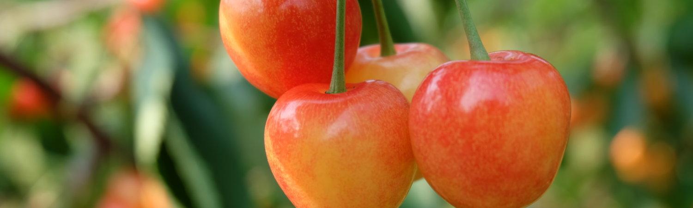 Cherries Picking 25