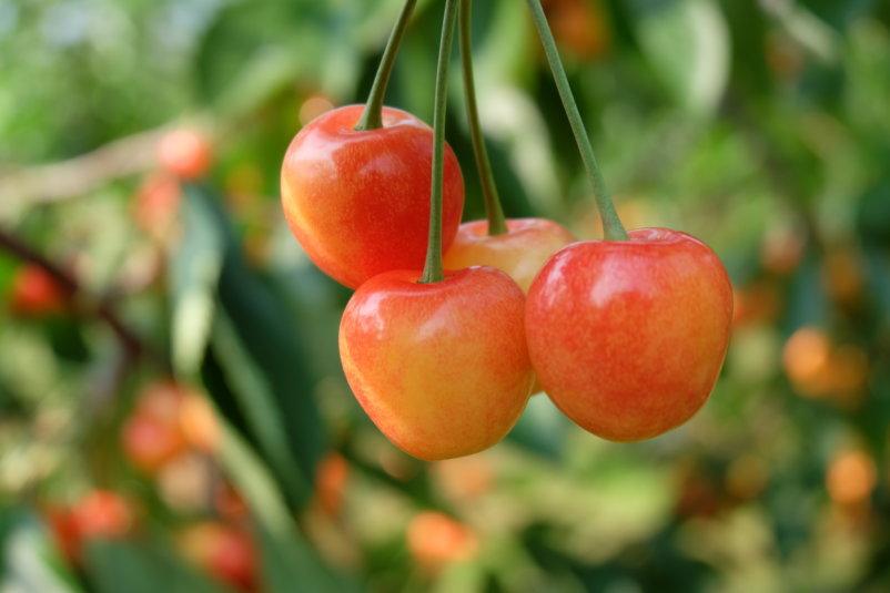 Cherries-Picking-25.JPG