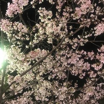 夜桜 Night Blossoms