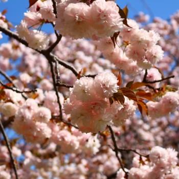 八重桜(^▽^*)