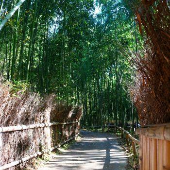 朝方の嵯峨野☆竹林