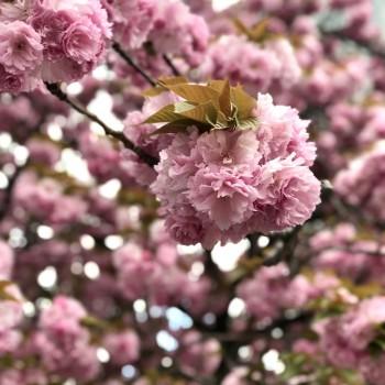八重桜カワイイ
