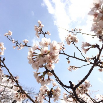 お花見の季節(。ゝ∀・)b