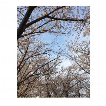 桜&入学式のお話&コメ返