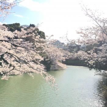 先週の極私的桜探訪。