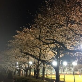 🌸 夜桜 🌸