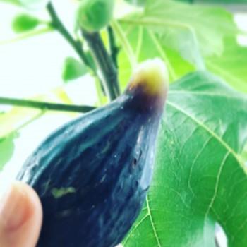 イチジク栽培🍐