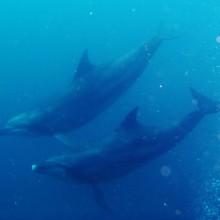 野生のイルカに遭遇、串本ダイビング。