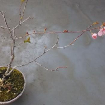 ベランダのニワウメ咲く