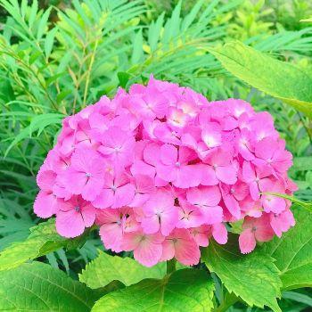 紫陽花💗✽