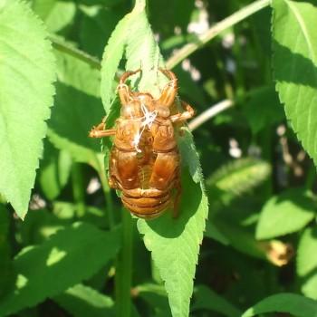 蝉の抜け殻を見つけた。