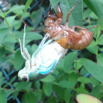 蝉の誕生。