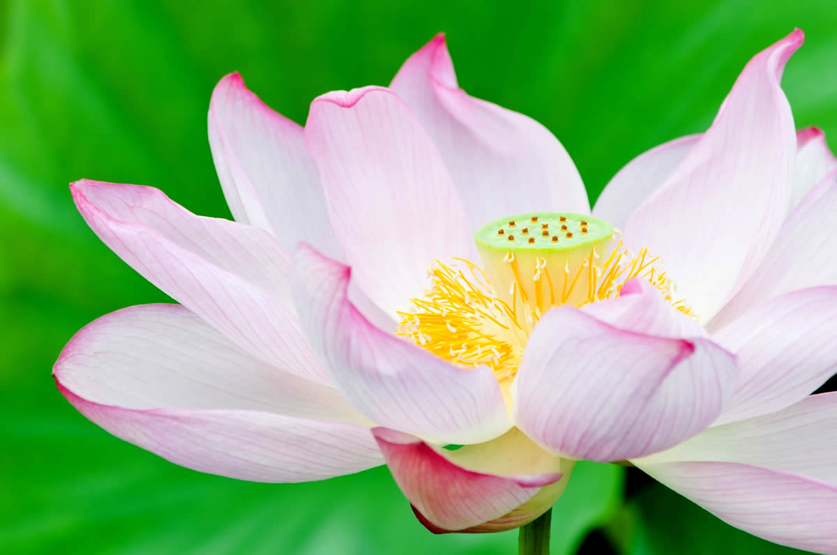 Say it with a japanese flower yabai the modern vibrant face of the lotus flower scientifically known as nelumbo nucifera symbolizes enlightenment and purity its also called renge in romaji so why enlightenment izmirmasajfo