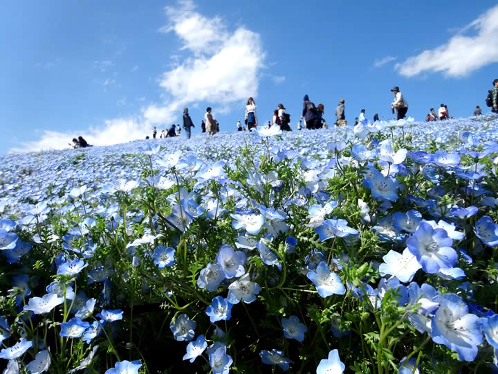 the best fields of flowers to visit in japan that feature more than