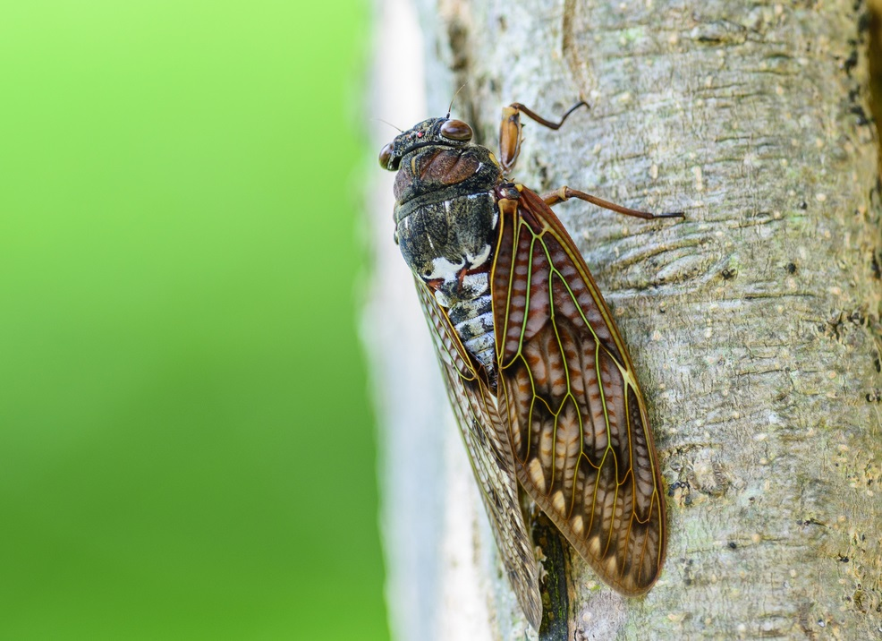 The Cicada's Chirp, and What It Means to Japan | YABAI - The