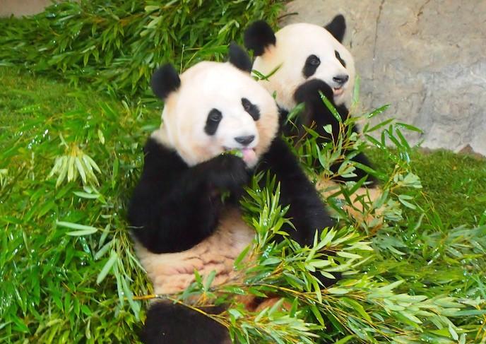 和歌山のアドベンチャーワールドにも赤ちゃんパンダがいるから会ってきた
