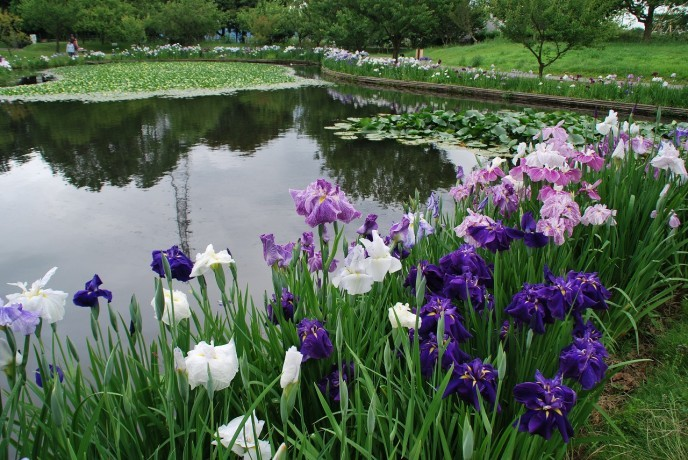 池に映るハナショウブとスイレンの共演。約180品種1000株のハナショウブが園内に咲き誇ります。(小田原フラワーガーデン提供)