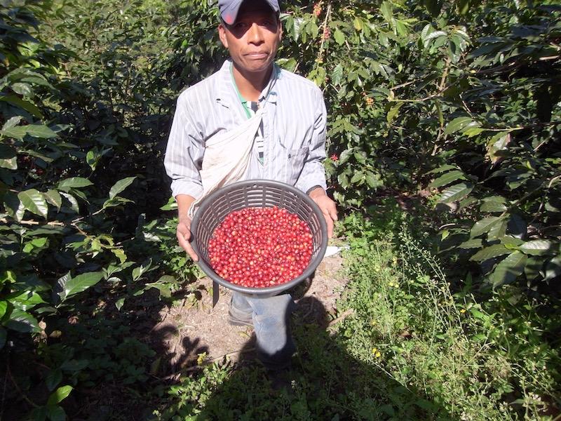 バケツいっぱいのコーヒー豆を抱えるピッカーさん(豆を手で摘む人)。