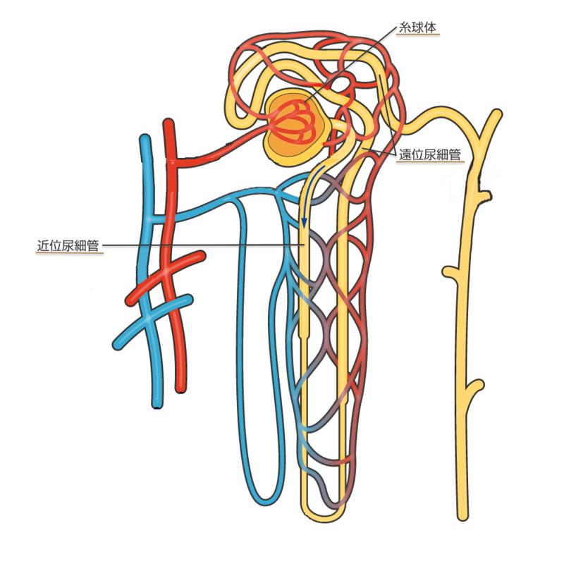 尿細管性アシドーシス(RTA)と...