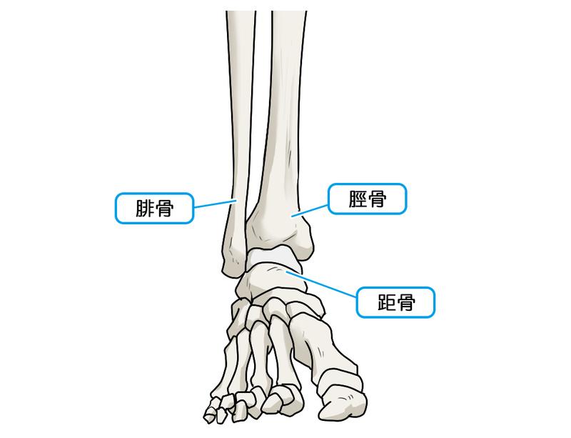 「足関節」の画像検索結果