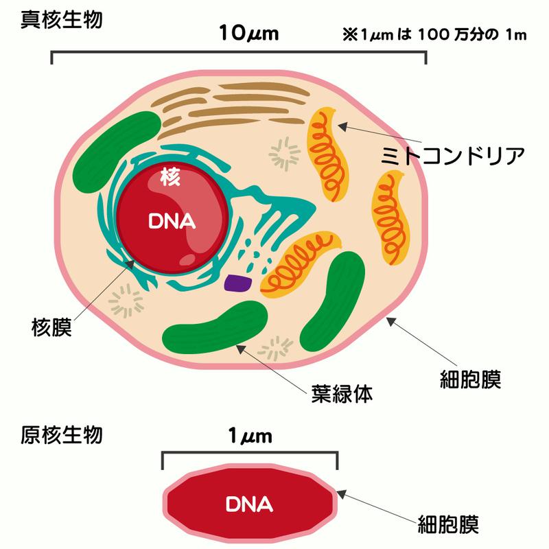 細菌とウイルスの違いとは? | メディカルノート