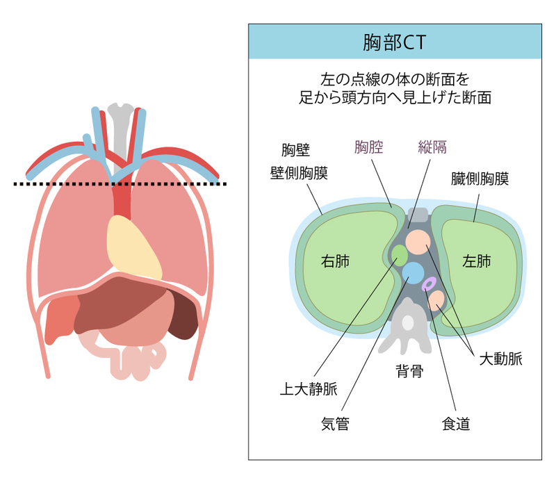 の 位置 肺