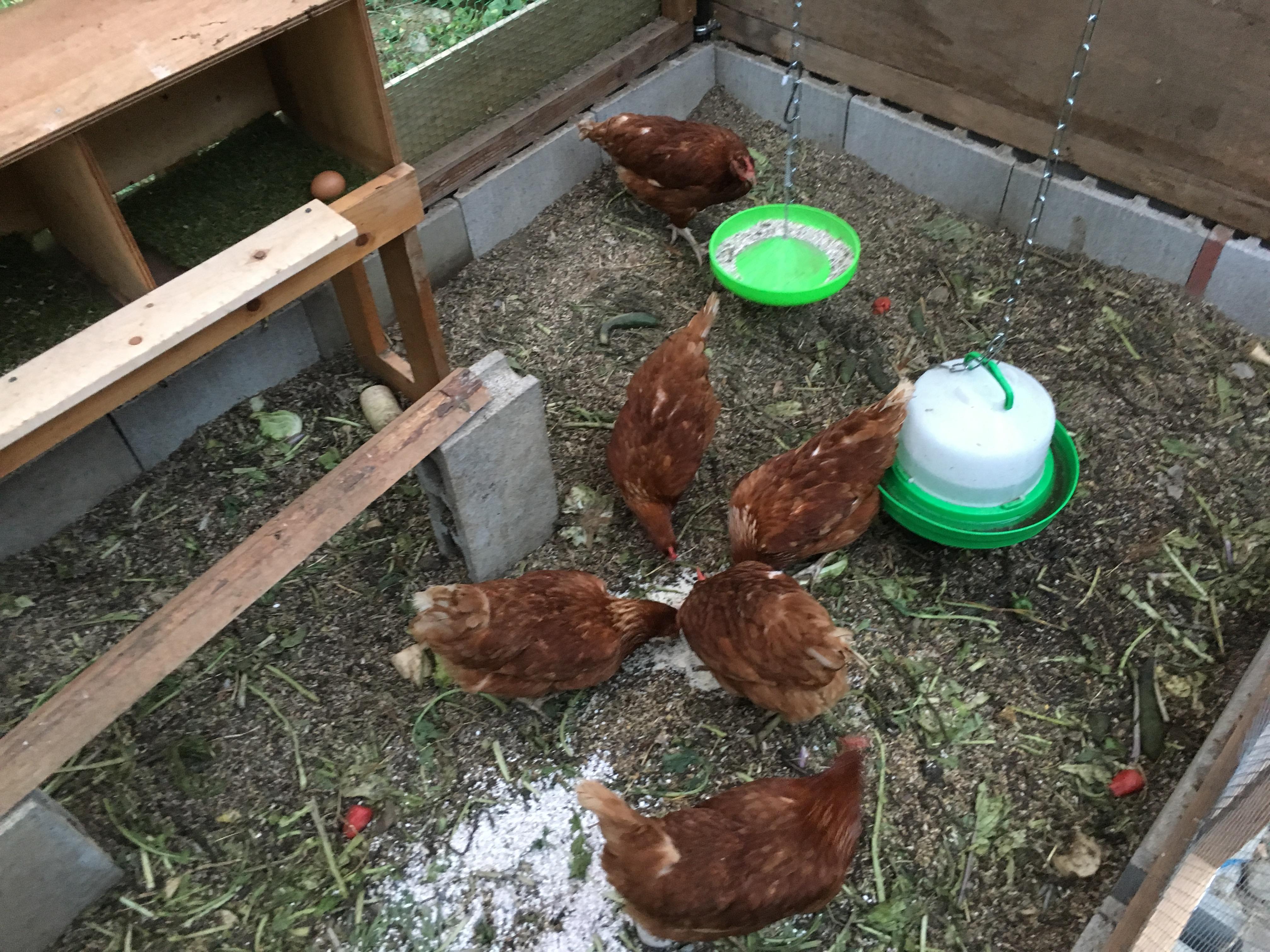 運が良ければ産みたての卵をどうぞ!
