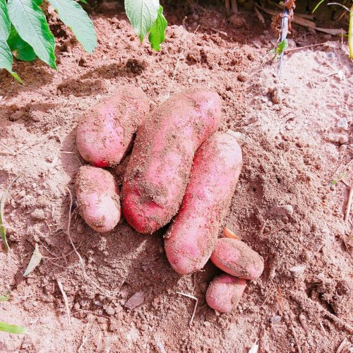 You can dig potatoes for an additional 100 yen.