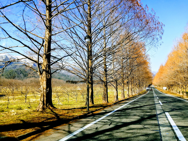冬のメタセコイア並木
