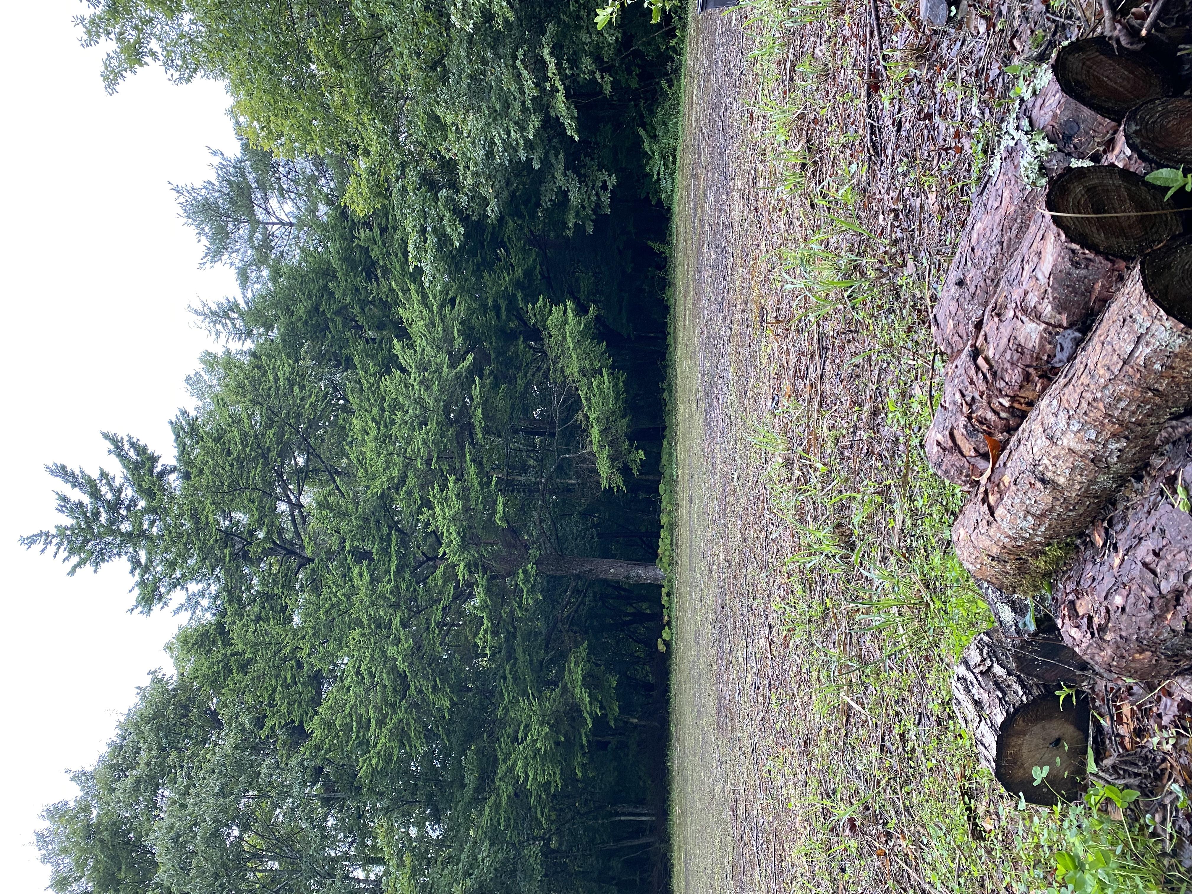 大きなシラベの木の下でピクニックも出来ます。