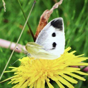 元カレから連絡が来るタンポポと蝶の LINE背景画像の例