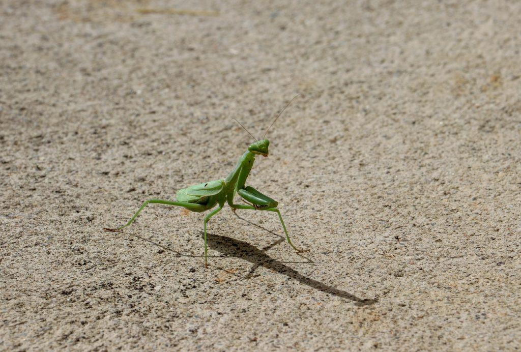 カマキリは拝み虫とも呼ばれる幸運の虫?