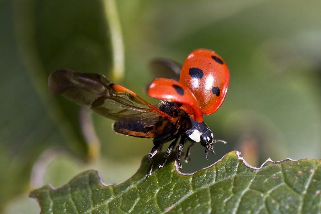 葉に止まったてんとう虫が飛び立とうとしている