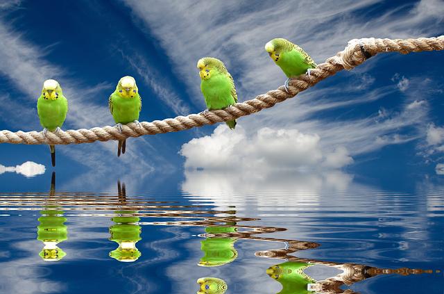 ロープの上で休んでいる4羽のインコ