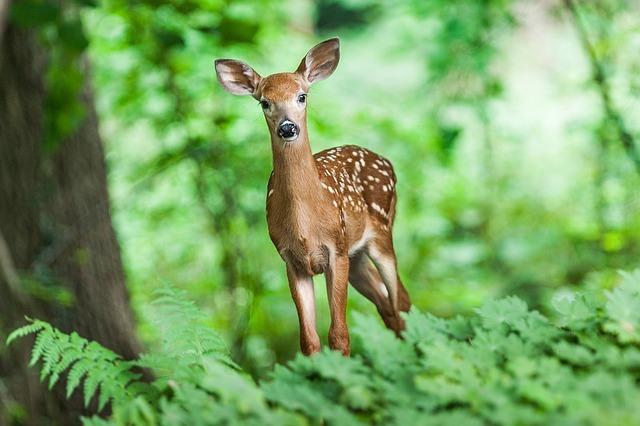 春日大社で神の使いとされ、「奈良のシカ」として知られる鹿