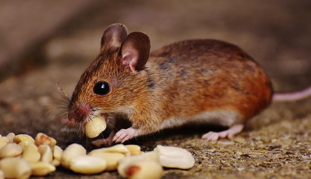餌を食べるネズミ