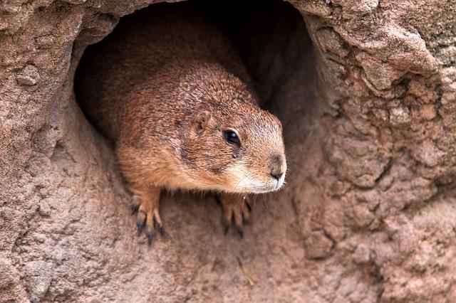 穴から出るネズミ