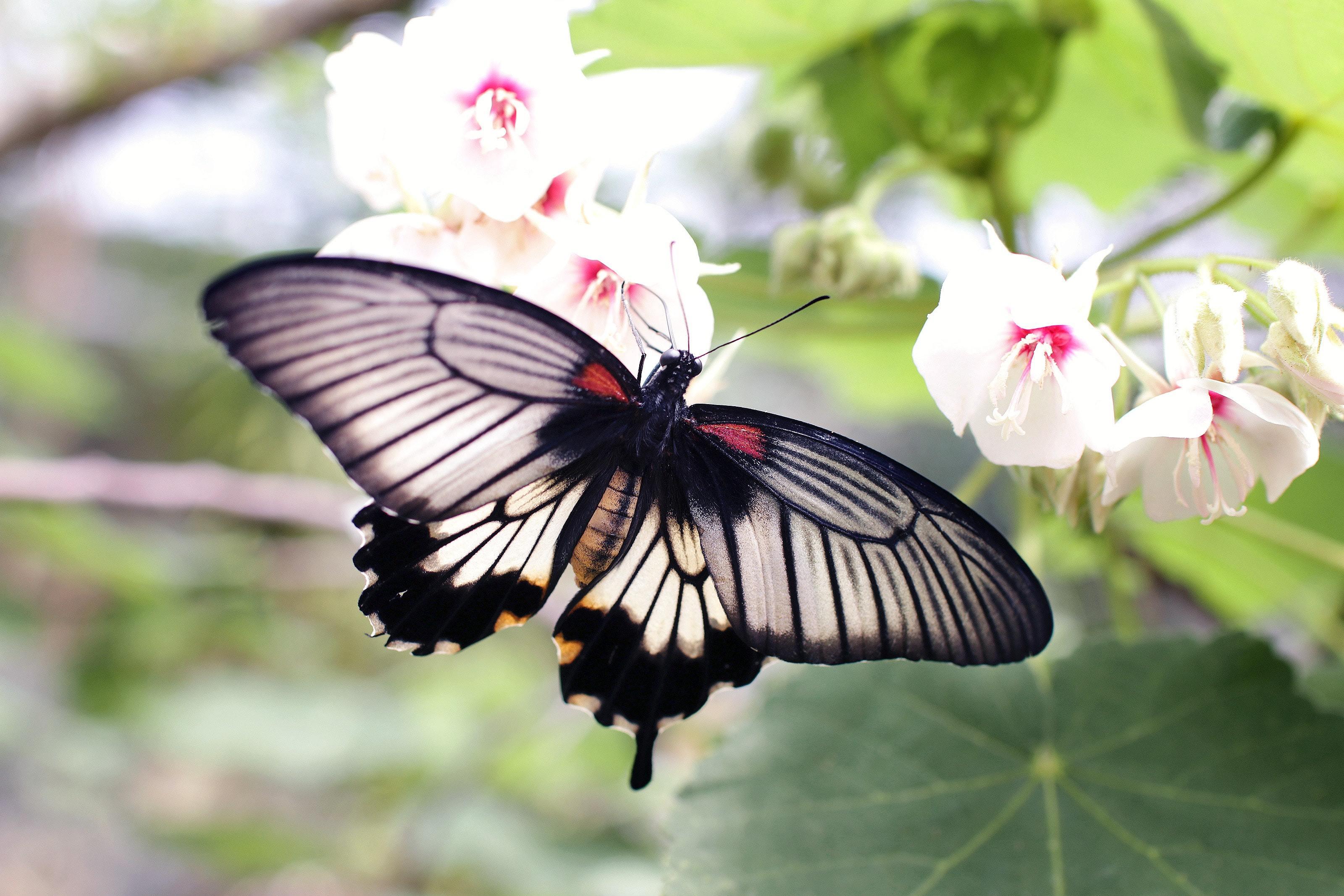 黒い蝶の迷信